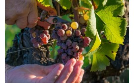 In Bordeaux a promising vintage 2019 will be harvested
